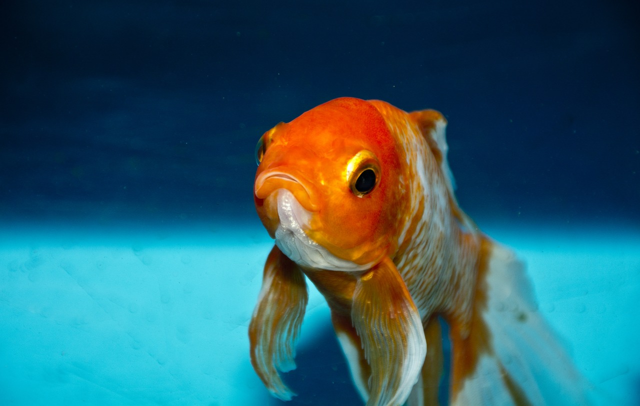 A goldfish staring at the camera